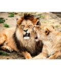 львица кусает за гриву льва