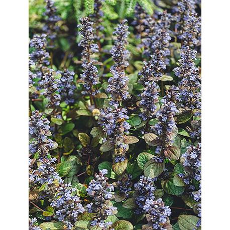 пчёлы прилетели опылять голубые цветы