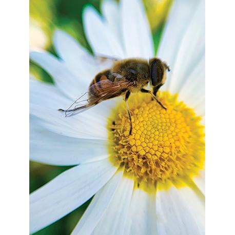 пчела сидит на ромашке макро съёмка
