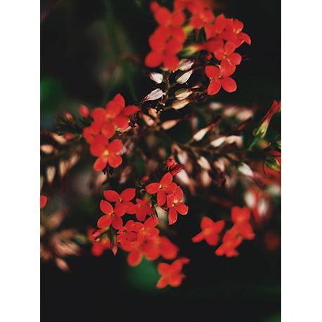 красный цветок искора в поле