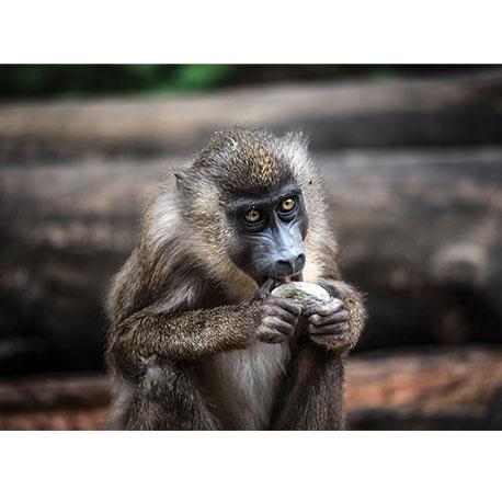 Павиан, обезьяна