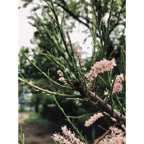 цветение тамарикса в ботаническом саду