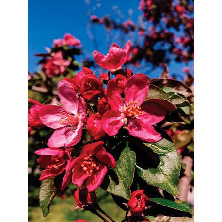 цветение яблони на фоне неба