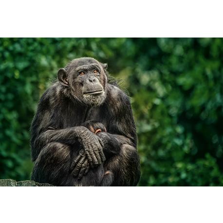 Шимпанзе сидит в джунглях